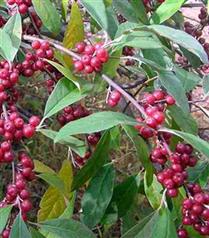 Güzyemişi bitkisi Elaeagnus Umbellata kanseri önlüyor