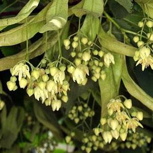 ihlamur-cayi-ne-ise-yarar - Bitki çaylarının faydaları