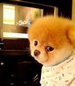 Dünyanın en sevimli köpeği Boo