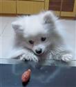 Pomeranian azmiyle ders veriyor